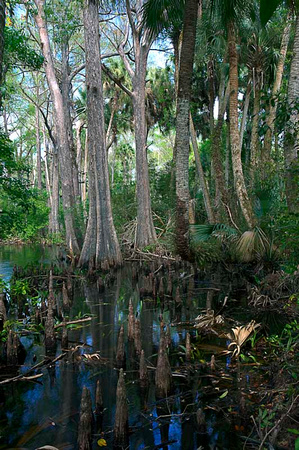 Loxahatchee River IX